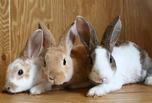 ウサギ:ウサギ団子(本物)の画像を ...
