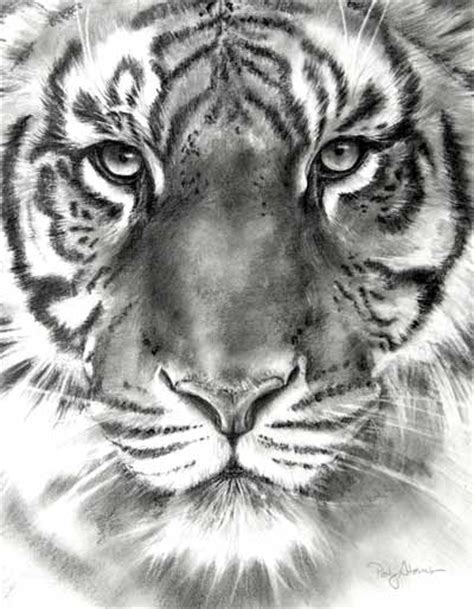 drawn white tiger sketching pencil   color drawn