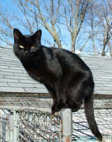 black cats black cat appreciation day do you your melanistic
