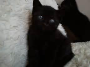 Half Persian Half Siamese Black