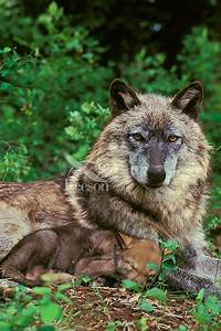 Wolf  Gray Wolf Mom And Baby  Canis Lupus