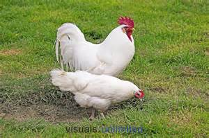White Leghorn Rooster and Hen