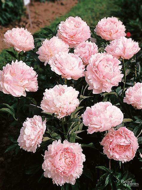 growing peonies in florida 17 best images about gorgeous garden plants on pinterest white flowers container plants and