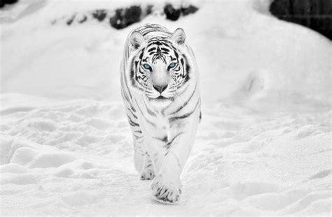 White Tiger Snow Majestic Fashion Beauty