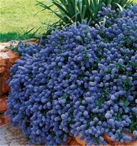 Arbuste Persistant Croissance Rapide : arbustes couvre sol jacques briant plantes en ligne ~ Premium-room.com Idées de Décoration