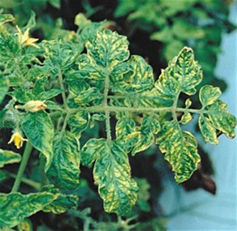 What Is Tomato Mosaic Virus?  Creative Diagnostics Blog