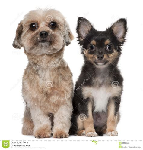 shih tzu  chihuahua stock photo image  people