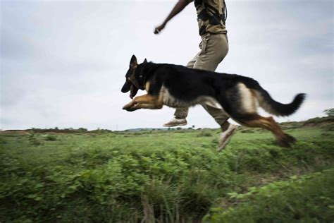 Dogs on defense: What life is like for the canines of ...