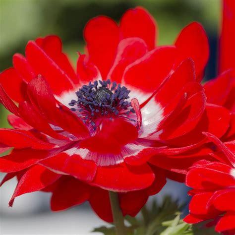 anemone bulbs for sale easy to grow bulbs