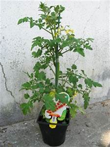 Plant Tomate Cerise : tomate quel type de plant choisir ~ Melissatoandfro.com Idées de Décoration