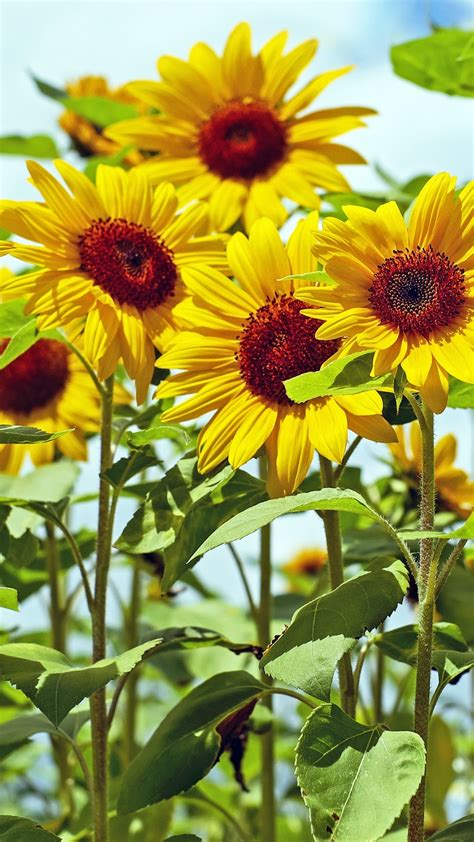 Best hd wallpapers of flowers, desktop backgrounds for pc & mac, laptop, tablet, mobile phone. Sunflowers Wallpaper (61+ images)