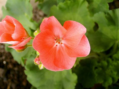 photography coral colored flower