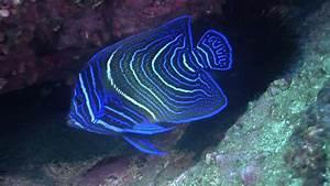 Juvenile Blue Angelfish (Pomacanthus Semicirculatus ...