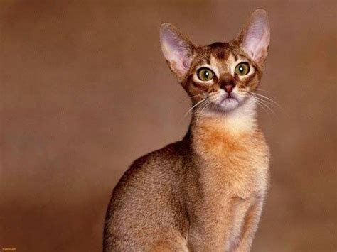 10 Most Popular Breeds Of Cats Ritemail