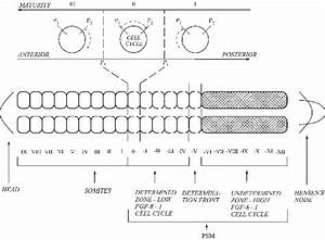 Diagrammatic Representation Of The Vertebrate Body Plan