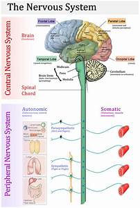 Central Nervous System Diagram Labeled - Anatomy Human