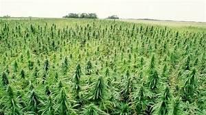 cannabis oil high times
