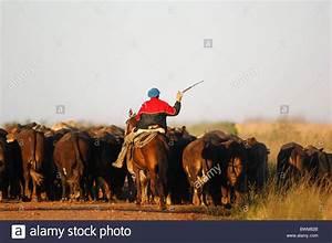 Herd Auf Englisch : argentina south america gaucho cattle herd near carlos pellegrini stockfoto lizenzfreies bild ~ Orissabook.com Haus und Dekorationen