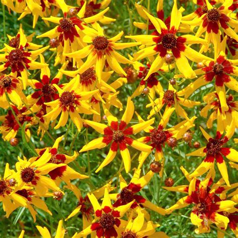 coreopsis mardi gras coreopsis mardi gras seed calliopsis tickseed