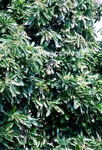 Avocado Baum Pflege : avocado persea americana anzucht pflege und kultur ~ Orissabook.com Haus und Dekorationen