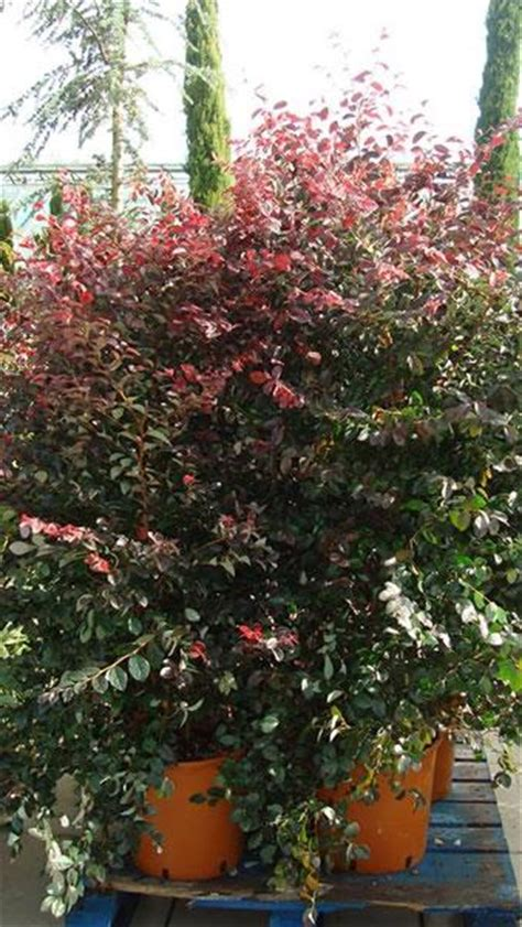 witch hazel for sale loropetalum chinense fire dance evergreen witch hazel for sale london uk