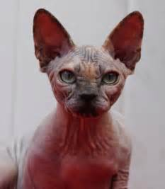 hairless cats for 1000 images about hairless cats on