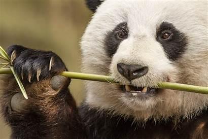 Panda China Born Bear Snow Facts Disney
