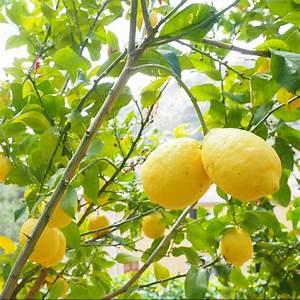 Achat Citronnier 4 Saisons : citronnier des 4 saisons pot de 3 litres 30 40 cm plant ~ Premium-room.com Idées de Décoration