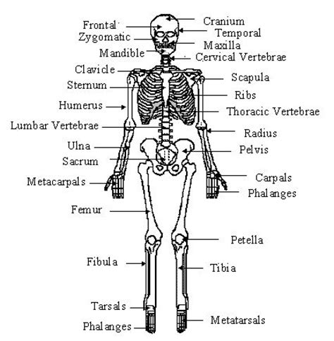 Basic Bone Diagram by Free Diagrams Human Human 3d Human Organ The