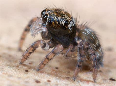 les araign 233 es aussi font le paon