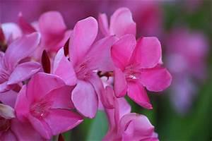 Oleander Düngen Mit Blaukorn : oleander wie pflanze ich richtig die gartenoase ~ Lizthompson.info Haus und Dekorationen