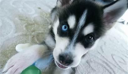 Joey Graceffa Wolf Dog Husky Puppy Dogs