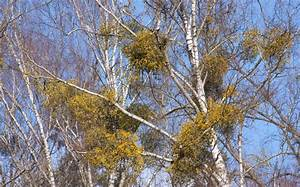 Mistletoe: Not Just Holiday Tradition, But Also A Threat ...