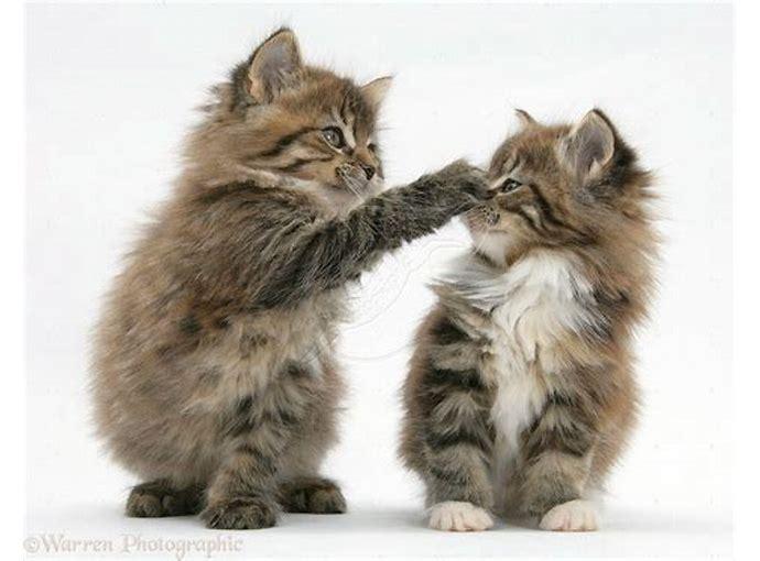 Download 66+  Gambar Kucing Anggora Wallpaper Terbaik