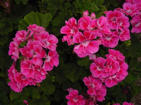 The First Truly Heattolerant Geraniums In The World