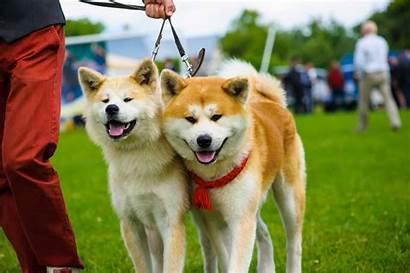 Dog Breeds Japanese Popular Inu Akita Dogs