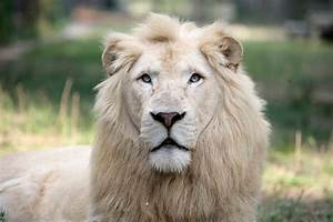 Animals of the world: White lion
