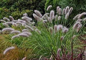 Moudry Fountain Grass Pennisetum Alopecuroides ' Moudry ...