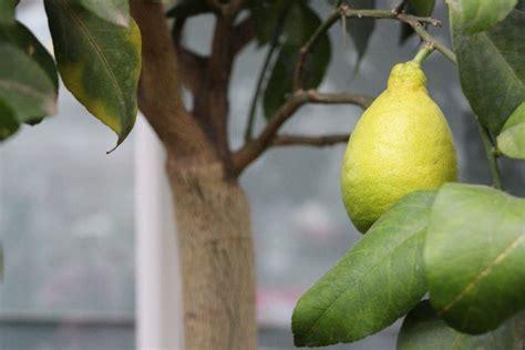zitronenbaum richtig schneiden  entwickelt er mehr