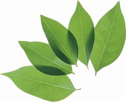 Leaf Leaves Icon