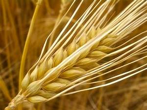 The Barley Genome Unravelled U2026 And It U0026 39 S Bigger Than Yours