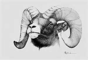 Rocky Mountain Bighorn Sheep Drawings
