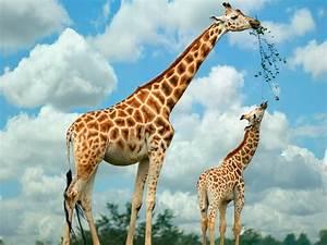 giraffes behavioral adaptations