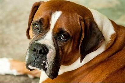Boxer Bull Dog Bulldog Breed Close Head