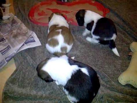 lhasa apso puppys  weeks  feeding walking hopping