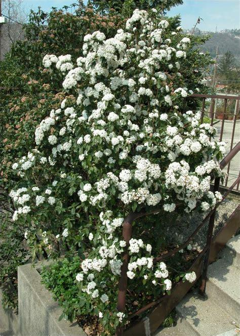 top  hedges viburnum tinus laurisinus hutchisons