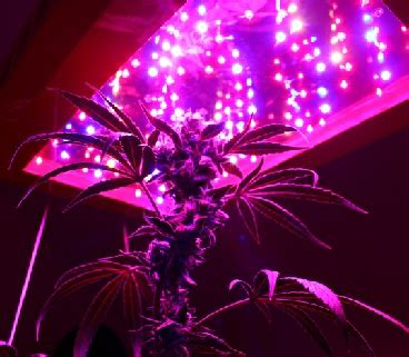 led lights for growing cannabis led grow lights make growing marijuana easy or do they