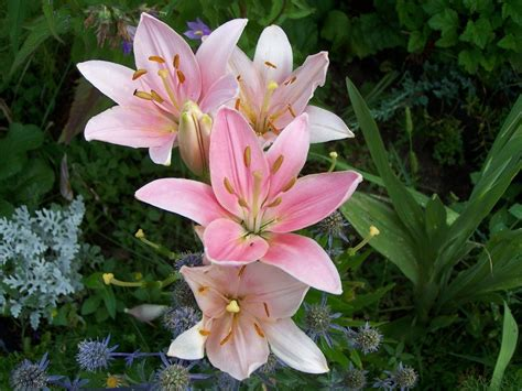 are lilies bulb plants typesofflower typesofflower
