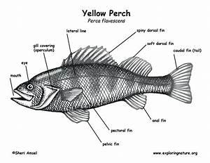 Tilapia Fish Drawing At Paintingvalley Com