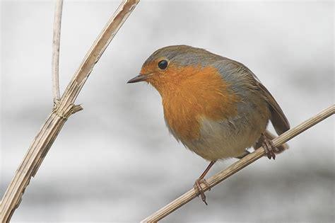 amazing facts european robin